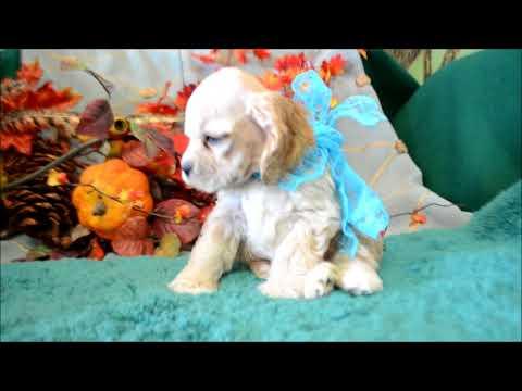 Willie AKC Buff Male Cocker Spaniel Puppy for sale.