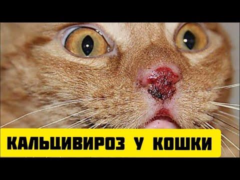 Кальцивироз у кошки: симптомы, лечение. Как защитить животное от этой страшной болезни