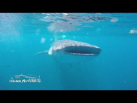 Whale shark Adventure in Holbox Island / Tiburón Ballena en Isla Holbox