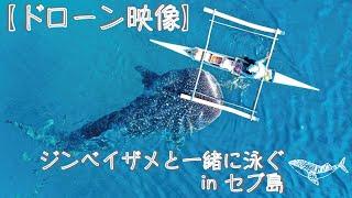 【ドローン映像】ジンベイザメウォッチングを上空からお届け
