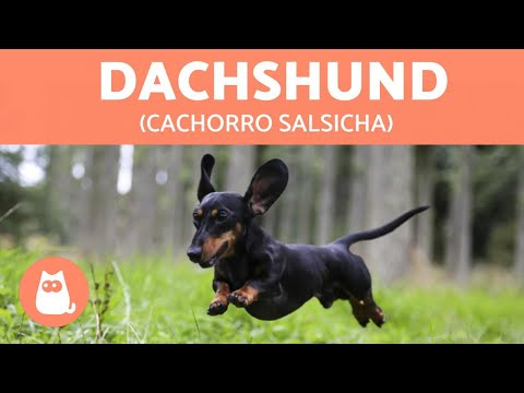 Dachshund ou teckel: tudo sobre o 'SALSICHA'