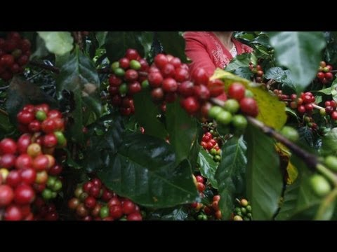 Coffee Could Go Extinct in 60 Years