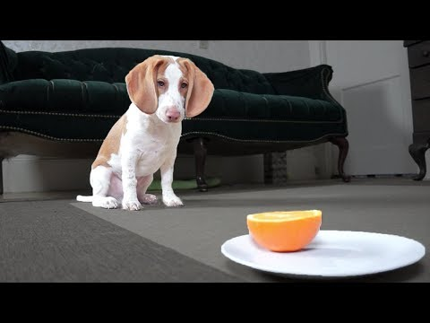 Adorable Beagle Puppy Doesn't Like Oranges