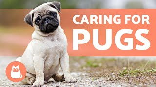 Caring for PUGS 🤗 Food, Hygiene and More