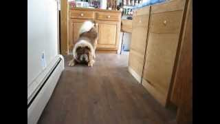 Chow Chow asking to play outside.