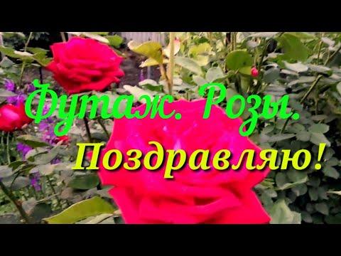 Футаж. Розы. Поздравляю!//Footage. Roses. Congratulation