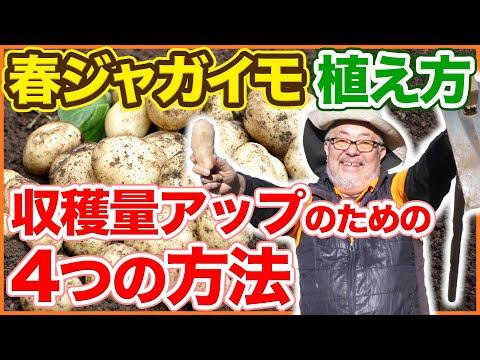 , title : '春ジャガイモの植え付け、収穫量アップの4つの方法!ウネ立てから肥料入れ、植え方、芽出しのコツを徹底解説!【家庭菜園】【じゃがいも】【種芋】