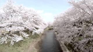 福井県を代表する桜の名所「吉野瀬川桜並木」越前市