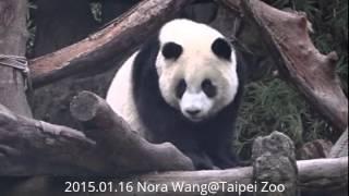 2015.01.16 保育員呼喚圓仔回家 (The Giant Panda Yuan-Zai)