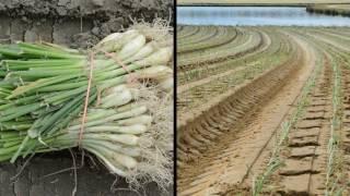 M & T Farms - Lyons GA, Vidalia Onion Planting