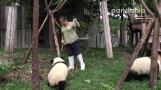 Panda breeder's poo-cleaning work.