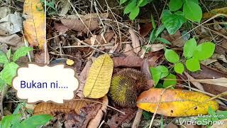 preview picture of video 'Pengalaman Ke Dusun Durian,  Ulu Sipitang.'