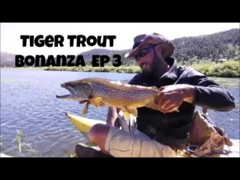 Tiger Trout Bonanza Episode 3