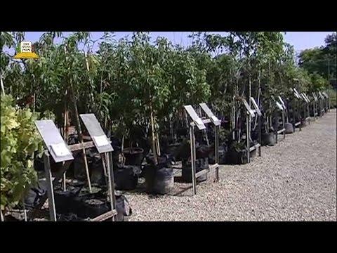 קניית עצי פרי במשתלה - הסבר מאיר עיניים על כלאיים