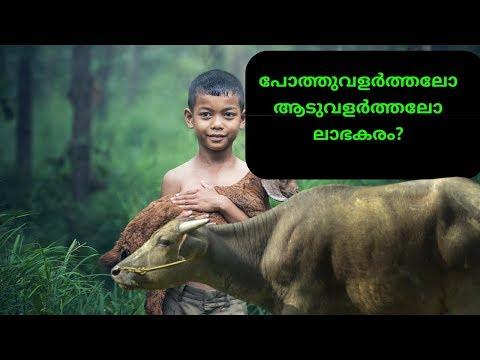Goat farming v/s murrah Buffalo farming in kerala|ആടുവളർത്തലാണോ പോത്ത്വളർത്തലാണോ ലാഭകരം|goat farm