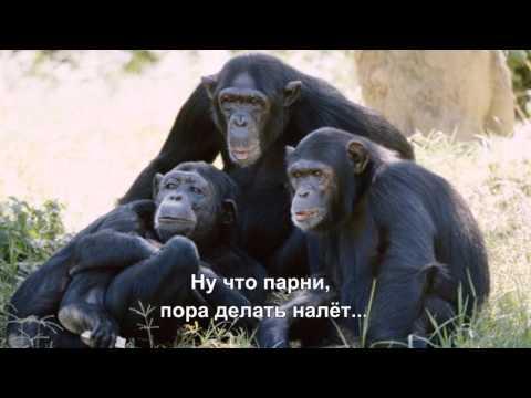 Шимпанзе - алкоголики воруют и пьют вино жителей Гвинеи