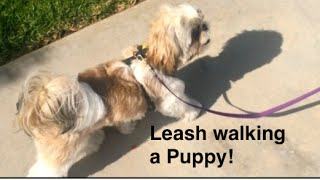 How to train Puppy to walk on a leash-14 weeks and up puppies that stop and are scared or stubborn