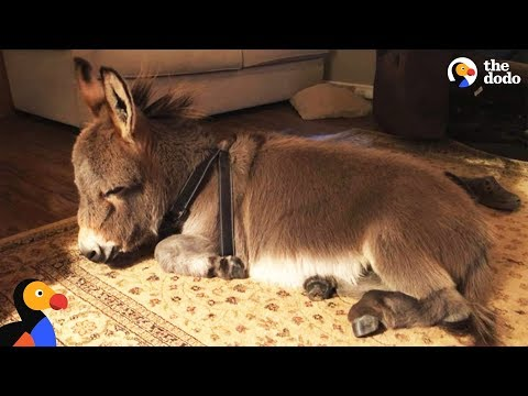 This Adorable Trained Donkey Will Steal Your Heart!