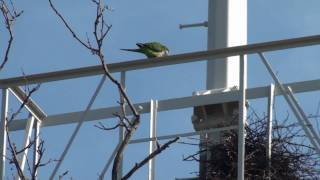 Wild Monk Parakeets of Brooklyn, 65th Street Dust Bowl Park