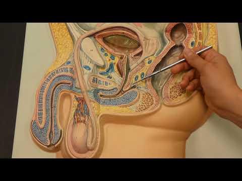 La prostata è una ghiandola sessuale maschile