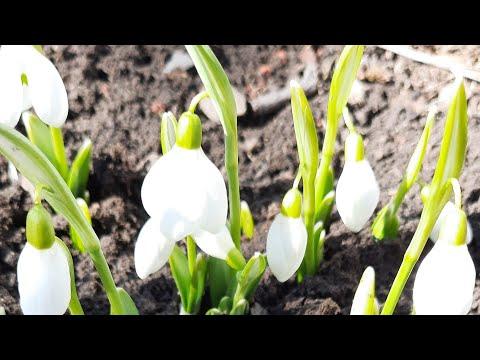 Весенние цветы. Подснежники и крокусы.