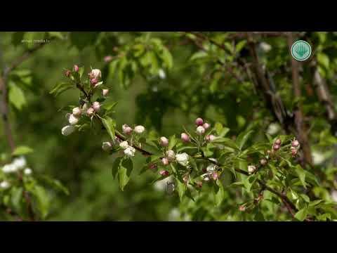 В ботаническом саду Мирного зацвели яблони