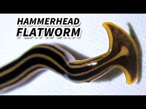 A paraziták elpusztításának eszköze az emberi testben