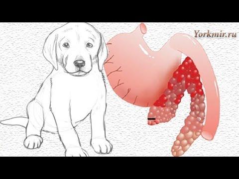 Панкреатит у собак | Причины | Симптомы | Лечение.
