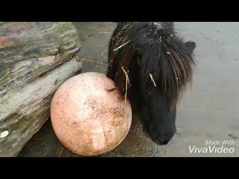 Pferde lernen Fussball spielen