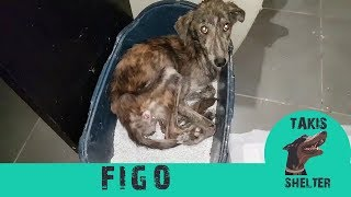 Watch this very skinny stray dog giving hugs to his rescuer every day - Figo - Takis Shelter