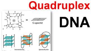 DNA structure | Quadruplex DNA