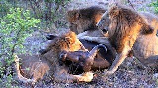 Male lions hunt and kill a buffalo (Majingilane males)