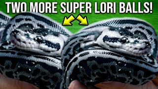 HATCHED TWO MORE BLUE AND SILVER SNAKES!! SUPER LORI LEOPARDS!!   BRIAN BARCZYK
