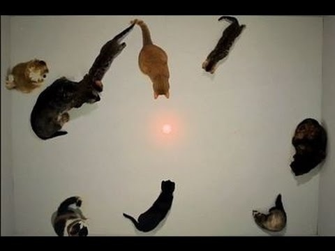Funny Pets Chasing Laser Pointers Part 2 – Crazy Cats, Crazy Dogs, Funniest Animals, Kitty Cats