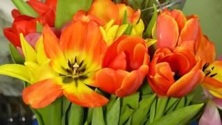 Time Lapse - Цветы Тюльпаны распускаются