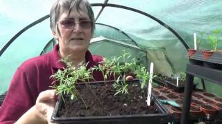 Growing With Julie - Transplanting Cosmos - 18th April 2017