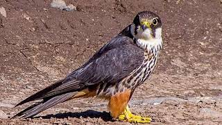 Eurasian Hobby Calling,  Bird Song, Bird Sound, Bird Chirping, Bird Calling, Bird Voice, Bird Call