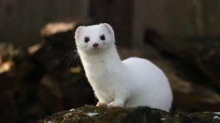 Hermelin lasica -STOAT WEASEL-OH najsimpatičnija životinjica na svijetu.
