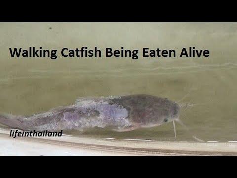 Walking catfish being eaten alive, nature is cruel.
