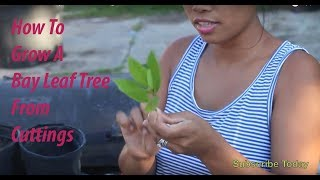 How to Grow A Bay tree from Cuttings!!!!
