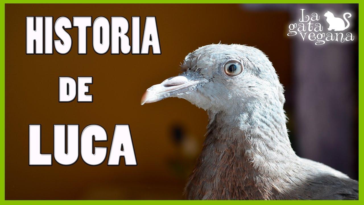 RESCATANDO UNA TORCAZ DE LA CALLE | PICHÓN DÉBIL | LOS PRIMEROS DÍAS EN CASA  Y SUS CUIDADOS 1/2