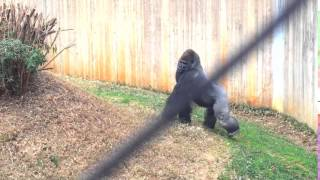 Angry Gorilla Pounds Chest