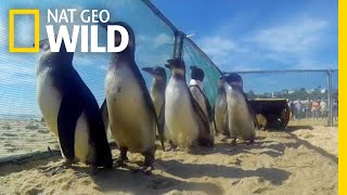 Watch Rescued Penguins Waddle Their Way to Freedom | Nat Geo Wild