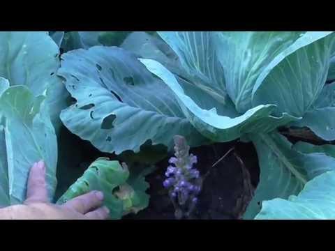 Глистный паразит растений сканворд