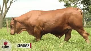 [VENDIDO] Crs torino 0032 fiv- Reprodutor Senepol PO