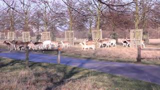 preview picture of video 'Fallow deer @ Hampton Court Park, London'