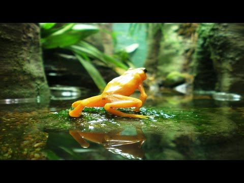Top 10 Beautiful Moment Of Golden Poison Dart Frog | Amazing Animals Video(HD)