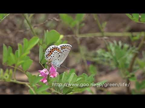 糠地バタフライガーデンの9月7日の蝶の飛翔(ミヤマシジミ)