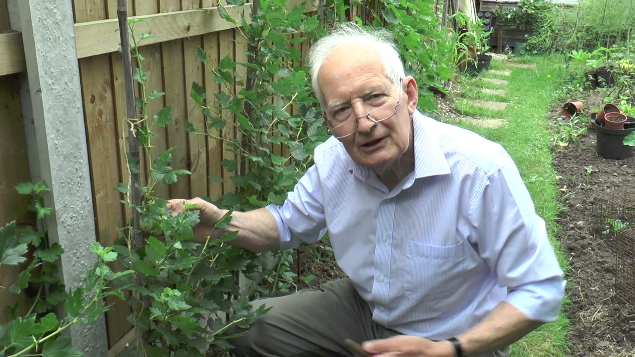 How to tie gooseberries and redcurrants