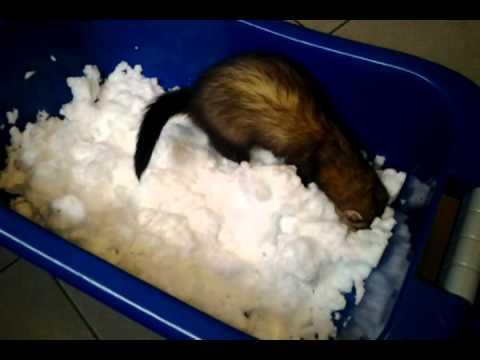 Frettchen spielt in der Schneewanne.mp4